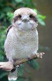 Kookaburravogel Royalty-vrije Stock Afbeeldingen