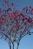 Kookaburrazitting in een bloeiende kweepeerboom in bloei royalty-vrije stock foto