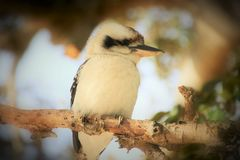 Kookaburru sitting on a branch in the late afternoon stock photos