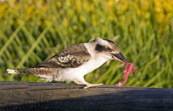 KookEat. Australian Laughing Kookaburra (Dacelo novaeguineae) eating meat Royalty Free Stock Photography
