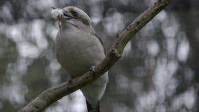 Kookuburra holds a dead mouse in its beak. A Kookuburra holds a dead mouse prey in its beak stock video footage
