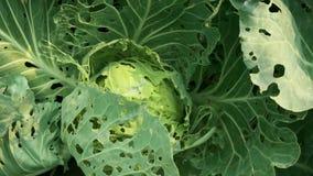 Kool door het close-up dat van het insectenongedierte wordt beschadigd Hoofd en bladeren van kool in gat, door larvenvlinders die stock footage