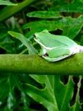 Kool healthy tree frog Royalty Free Stock Images