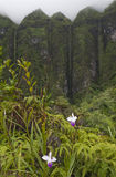 Hawaii Scenery: Koolau Mountains with orchids. Mountain orchids, also known as bamboo orchids, growing in front of the majestic, misty Koolau mountains on the Royalty Free Stock Image