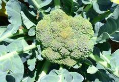 Koolbroccoli in de tuin Royalty-vrije Stock Foto