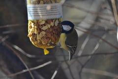 Koolmees die noten eten royalty-vrije stock afbeeldingen