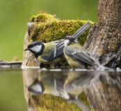 Koolmees, Great Tit, Parus major stock photography