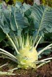 Koolraap in de tuin Royalty-vrije Stock Afbeelding