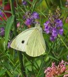 Koolwitjevlinder het voeden in de bloemen van de het plattelandshuisjetuin van het land royalty-vrije stock afbeeldingen