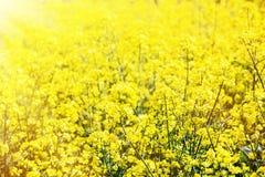 Koolzaad, Canola, Biodieselgewas Stock Afbeeldingen