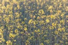 Koolzaad, Canola, Biodieselgewas Stock Afbeelding