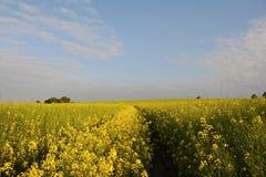 Koolzaadgebied in Bloesem, Tsjechische Republiek, Europa Royalty-vrije Stock Afbeeldingen