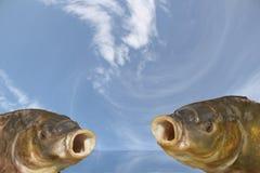 Koor twee vissen Stock Fotografie