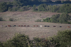 Koord van koeien in het weiland Royalty-vrije Stock Afbeeldingen
