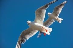 Koordinierter Flug von zwei Seemöwen Lizenzfreies Stockfoto