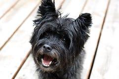 Kopa Terrier pies zdjęcia royalty free