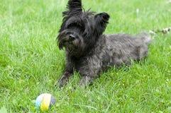 Kopa Terrier pies fotografia stock