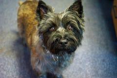 Kopa Terrier pies Calli zdjęcia royalty free