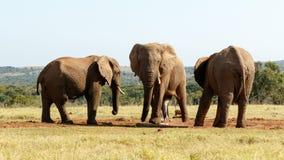 Kopalnia jest DUŻA - afrykanina Bush słoń Zdjęcia Stock