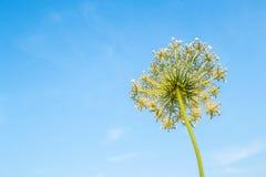 Kopalsternacka på himmelbakgrund Sikt för fältväxtsommar underifrån weed Arkivbilder