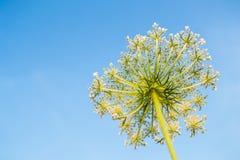 Kopalsternacka på himmelbakgrund Sikt för fältväxtsommar underifrån weed Giftig växt Heracleum Hogweed stort Arkivbilder