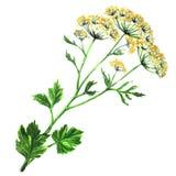 Koperów kwiaty anyżowi z liśćmi odizolowywającymi Obrazy Stock