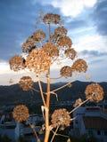 Koper roślina Zdjęcia Royalty Free