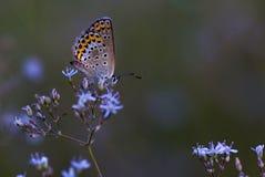 Koper-vlinder lat Lycaenidae Stock Afbeelding
