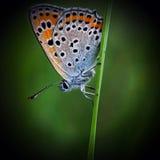 Koper-vlinder lat Lycaenidae Stock Foto's