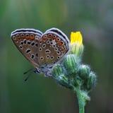 Koper-vlinder lat Lycaenidae Royalty-vrije Stock Afbeeldingen
