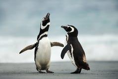 Koperczaki pokaz Magellanic pingwiny fotografia royalty free