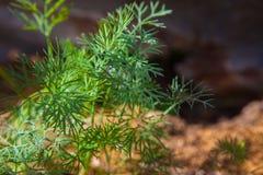 Koperkowa roślina na gospodarstwie rolnym Zdjęcia Stock