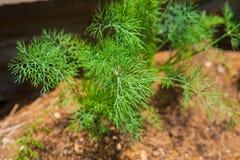 Koperkowa roślina na gospodarstwie rolnym Fotografia Stock