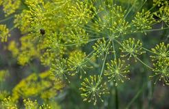 Koperkowy (koperu) kwiat Zdjęcie Royalty Free