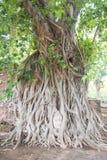 Kopf alter Buddha-Statue im Baum wurzelt an Mahathat-Tempel Lizenzfreies Stockbild