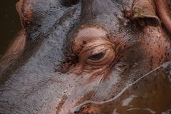 Kopf- Auge des Flusspferds Lizenzfreies Stockbild