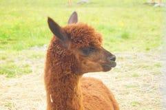 Kopf Browns Alpaka stockbild