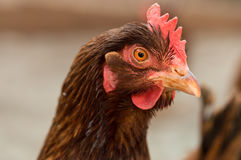 Kopf der braunen Henne Stockbild
