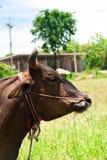Kopf der braunen Kuh Stockfotos