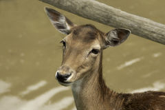 Kopf der Damhirschdamhirschkuh Lizenzfreie Stockbilder