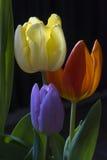 Kopf der gelben Tulpe mit den orange und lila Stockfoto