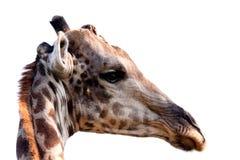 Kopf der Giraffe auf Weiß Stockbild