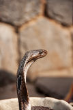 Kopf der Kobras. Lizenzfreies Stockfoto