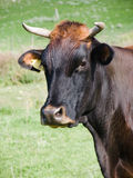 Kopf der Kuh stockfoto