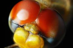 Kopf der Libelle Stockbild