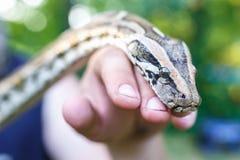 Kopf der retikulierten Pythonschlange in den Händen des Mannes stockfotos