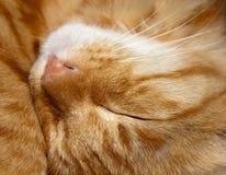 Kopf der Schlafenkatze Lizenzfreies Stockfoto