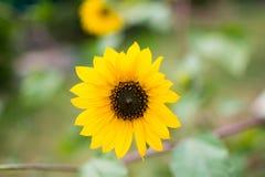Kopf der Sonnenblume Lizenzfreie Stockbilder