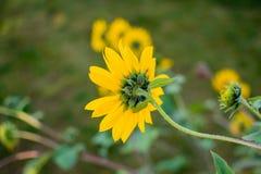 Kopf der Sonnenblume von der Rückseite Stockfoto