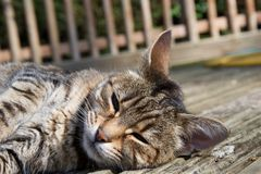 Kopf der weiblichen inländischen Haustierkatze, die in der Sonne auf hölzernem Decking im Freien, Entspannungsaugen offen liegt stockfoto
